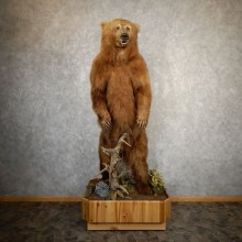 Alaskan Brown Bear Life-Size Mount For Sale #20762 @ The Taxidermy Store
