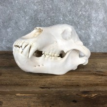 Alaskan Brown Bear Skull Mount For Sale #19846 @ The Taxidermy Store