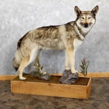 Alaskan Gray Wolf Life-Size Mount For Sale #19561 @ The Taxidermy Store