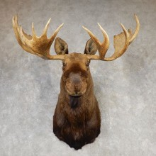 Alaskan Yukon Moose Shoulder Mount #20430 - The Taxidermy Store