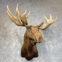 Alaskan Yukon Moose Shoulder Mount For Sale #22784 @ The Taxidermy Store