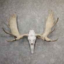 Alaskan Yukon Moose Skull European Taxidermy For Sale