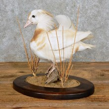 Albino Mandarin Duck Taxidermy Bird Mount For Sale