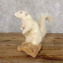 Albino Squirrel Life-Size Mount For Sale #18896 @ The Taxidermy Store
