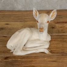 Albino Whitetail Deer Fawn Life-Size Mount For Sale #20686 - The Taxidermy Store