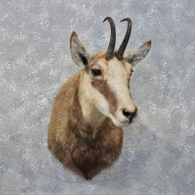 Alpine Chamois Taxidermy Shoulder Mount For Sale