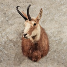 Alpine Chamois Shoulder Mount #11410 - For Sale - The Taxidermy Store