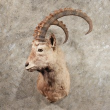 Alpine Ibex Shoulder Mount #11431 - For Sale - The Taxidermy Store