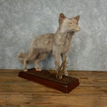 Amber Fox Life-Size Taxidermy Mount For Sale #17827 @ The Taxidermy Store