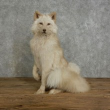 Amber Fox Taxidermy Mount For Sale