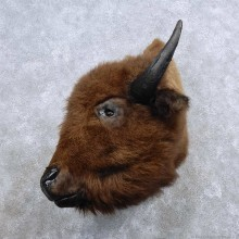 American Buffalo Shoulder Mount For Sale #15686 @ The Taxidermy Store