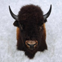 American Buffalo Taxidermy Shoulder Mount For Sale