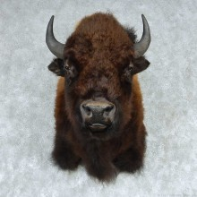 American Buffalo Shoulder Mount