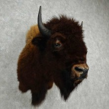 American Buffalo Shoulder Mount For Sale #16973 @ The Taxidermy Store