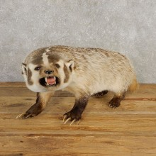 American Badger Life-Size Taxidermy Mount For Sale