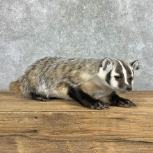 American Badger Life-Size Mount For Sale #22831 @ The Taxidermy Store