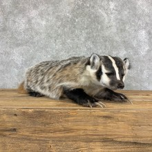 American Badger Life-Size Mount For Sale #22833 @ The Taxidermy Store