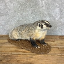 American Badger Life-Size Mount For Sale #22834 @ The Taxidermy Store
