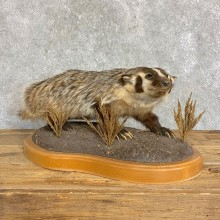 American Badger Life-Size Mount For Sale #22835 @ The Taxidermy Store