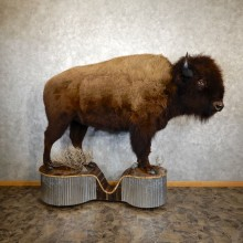 American Buffalo Life-Size Taxidermy Mount For Sale