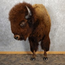 American Buffalo Taxidermy Half Life-Size Mount For Sale