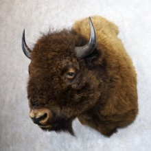 American Buffalo Shoulder Mount For Sale #22144 @ The Taxidermy Store