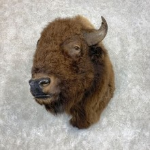 American Buffalo Shoulder Taxidermy Mount For Sale #21732 @ The Taxidermy Store