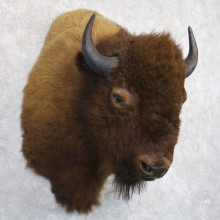 American Buffalo Shoulder Taxidermy Mount For Sale #22272 @ The Taxidermy Store