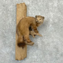 American Pine Marten Mount For Sale #22321 @ The Taxidermy Store