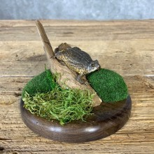 American Toad Taxidermy Mount For Sale #21378 @ The Taxidermy Store