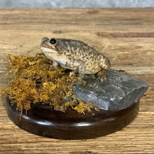 American Toad Taxidermy Mount For Sale #21381 @ The Taxidermy Store