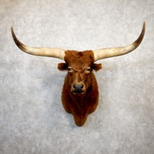 Ankole Watusi Longhorn Shoulder Taxidermy Head Mount #19984 For Sale @ The Taxidermy Store