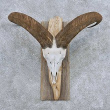 Aoudad Skull Horns Taxidermy Mount For Sale #13940 For Sale @ The Taxidermy Store