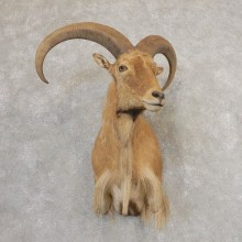 Aoudad Shoulder Mount For Sale #21319 @ The Taxidermy Store