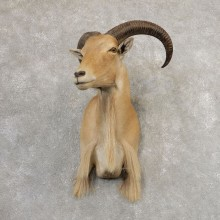 Aoudad Shoulder Mount For Sale #21320 @ The Taxidermy Store