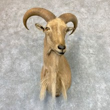Aoudad Shoulder Mount For Sale #22982 @ The Taxidermy Store