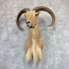 Aoudad Shoulder Mount For Sale #22984 @ The Taxidermy Store