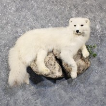Arctic Fox Life-Size Taxidermy Mount For Sale