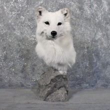 White Arctic Fox Pedestal #11707 For Sale @ The Taxidermy Store
