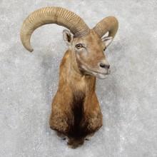 Armenian Mouflon Ram Taxidermy Shoulder Mount For Sale