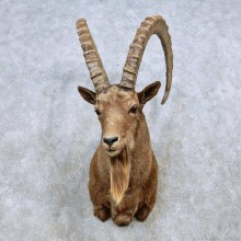 Mid Asian Ibex Shoulder Mount For Sale #14554 @ The Taxidermy Store