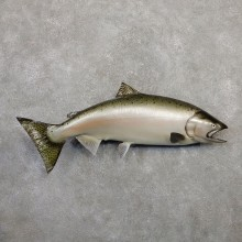Atlantic Salmon Fish Mount For Sale #20055 @ The Taxidermy Store