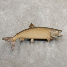 Atlantic Salmon Fish Mount For Sale #20586 @ The Taxidermy Store