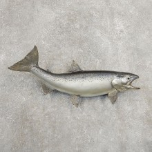 Atlantic Salmon Fish Mount For Sale #20908 @ The Taxidermy Store