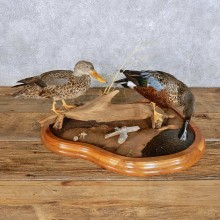 Australasian Shoveler Pair Bird Mount For Sale #14436 @ The Taxidermy Store