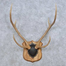 Axis Deer Antler Plaque For Sale #14069 @ The Taxidermy Store