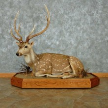 Axis Deer Laying Life-Size Mount #13471 For Sale @ The Taxidermy Store