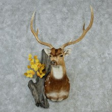 Axis Deer Mount M1 #12839 For Sale @ The Taxidermy Store