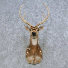 Axis Deer Shoulder Mount For Sale #14669 @ The Taxidermy Store