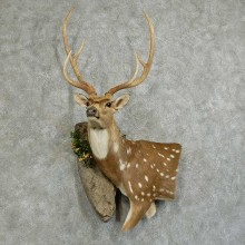 Axis Deer Wall Pedestal Taxidermy Mount For Sale